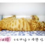 sleepy-cat-sugar